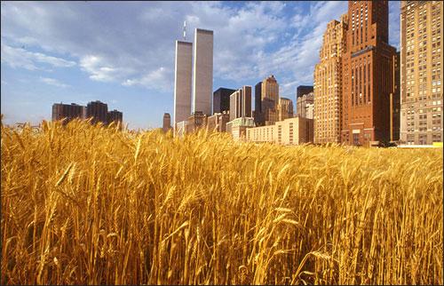 denes wheat field