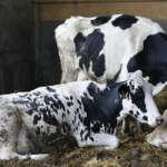 """коровы в сельскохозяйственном парке """"Sud Milano"""""""