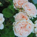rose02 150x150 - Монца и ее достопримечательности