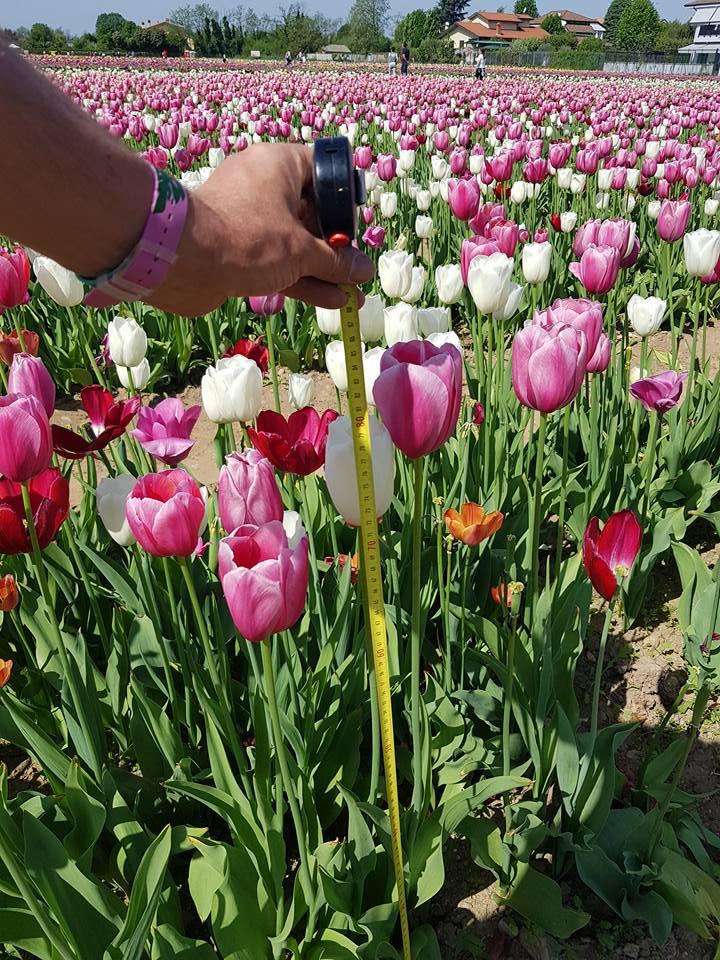 Тюльпаны под Миланом